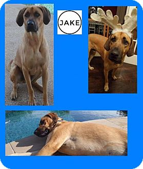 Bloodhound/Plott Hound Mix Dog for adoption in Plano, Texas - JAKE