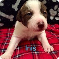 Adopt A Pet :: Inis - Moyock, NC