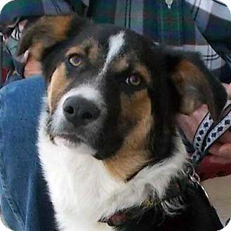 Border Collie/Australian Shepherd Mix Puppy for adoption in Weatherford, Texas - Buddy