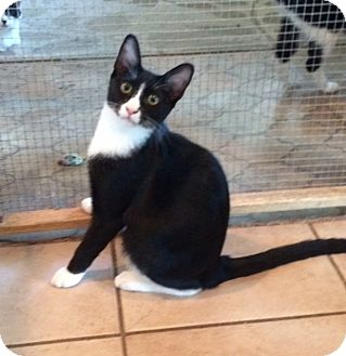 Domestic Shorthair Kitten for adoption in Alamo, California - Trixie