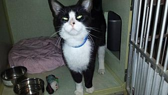 Domestic Shorthair Cat for adoption in Iroquois, Illinois - Chippendale