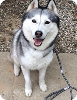 Siberian Husky Mix Dog for adoption in Shingleton, Michigan - Sparky