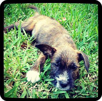 Schnauzer (Standard) Mix Puppy for adoption in Grand Bay, Alabama - Hank