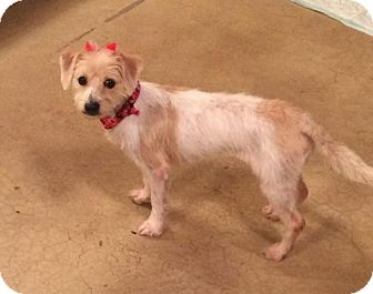 Terrier (Unknown Type, Small) Mix Dog for adoption in Homer Glen, Illinois - London