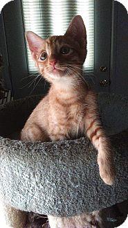 American Shorthair Kitten for adoption in San Jose, California - CASTLE