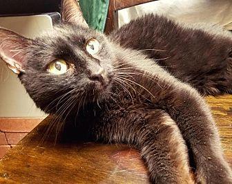 Domestic Shorthair Cat for adoption in Park City, Utah - Raisin