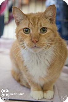 Domestic Shorthair Cat for adoption in Merrifield, Virginia - Red Cloud