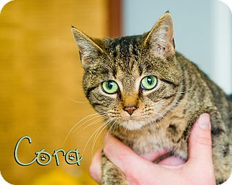 Domestic Shorthair Cat for adoption in Somerset, Pennsylvania - Cora