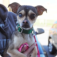 Chihuahua Mix Dog for adoption in Whitehall, Pennsylvania - Daffodil