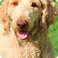 Adopt A Pet :: CURLY(OUR