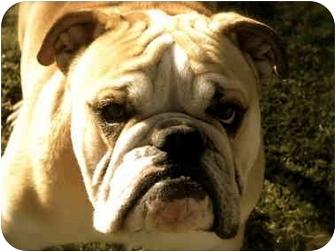 English Bulldog Dog for adoption in Gilbert, Arizona - Uno*adoption pending!*