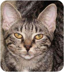 Domestic Shorthair Cat for adoption in Milford, Ohio - Bitsy