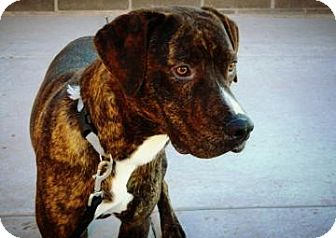 Pit Bull Terrier/Mountain Cur Mix Dog for adoption in Cheyenne, Wyoming - Norris