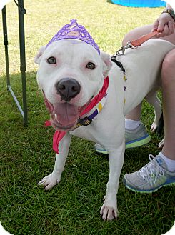 American Pit Bull Terrier Mix Dog for adoption in Baton Rouge, Louisiana - Connie