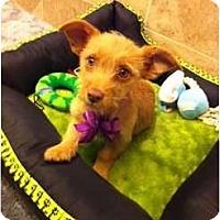 Adopt A Pet :: Snow - Oceanside, CA