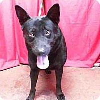 Adopt A Pet :: Cinco - Seattle, WA