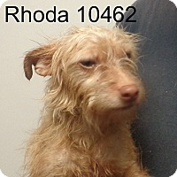 Adopt A Pet :: Rhoda - Greencastle, NC