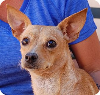 Chihuahua Mix Puppy for adoption in Las Vegas, Nevada - Mimi