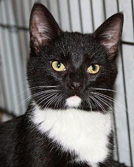Domestic Shorthair Cat for adoption in Eldora, Iowa - Tut