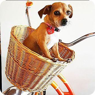 Pug/Chihuahua Mix Dog for adoption in santa monica, California - Ruthie
