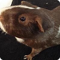 Adopt A Pet :: COCO - Aurora, CO