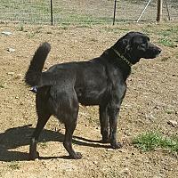 Adopt A Pet :: Captain - Lexington, KY