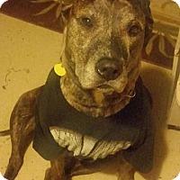 Adopt A Pet :: Henry - Springfield, MO