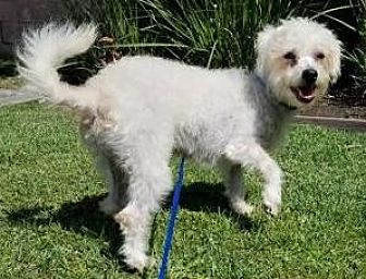 Poodle (Miniature) Mix Dog for adoption in Los Angeles, California - Sugar