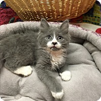 Adopt A Pet :: Cuddles - Butner, NC