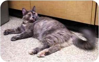 Domestic Longhair Cat for adoption in Irvine, California - Chloe