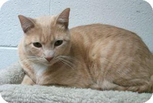 Domestic Shorthair Cat for adoption in Colorado Springs, Colorado - Yonkers