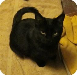 Domestic Shorthair Kitten for adoption in St. Louis, Missouri - CiCi
