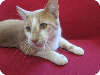 American Shorthair Cat for adoption in Richland, Michigan - Peter