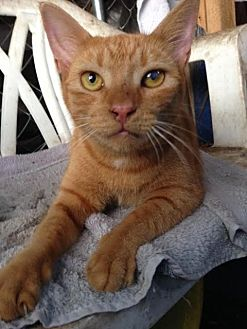 Domestic Shorthair Cat for adoption in Miami, Florida - Little One