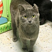 American Curl Cat for adoption in West Des Moines, Iowa - Miranda