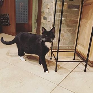 Domestic Shorthair Cat for adoption in Chino Hills, California - Summer