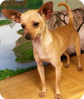 Chihuahua/Dachshund Mix Dog for adoption in East Hartford, Connecticut - Peanut