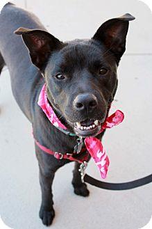 Labrador Retriever/Chow Chow Mix Dog for adoption in Youngsville, North Carolina - Sage ~Reduced Fee~