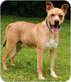 Boxer/Akita Mix Dog for adoption in Chicago, Illinois - Fred