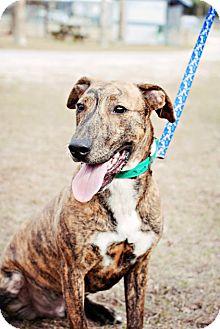 Hound (Unknown Type)/Labrador Retriever Mix Dog for adoption in Crawfordville, Florida - Axel