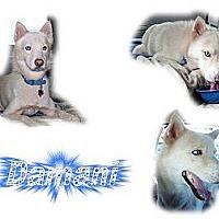 Adopt A Pet :: Damani - Seminole, FL