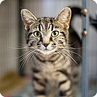 Adopt A Pet :: Miko - Shelton, WA