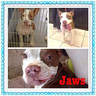 Pit Bull Terrier Mix Dog for adoption in Phoenix, Arizona - Jaws