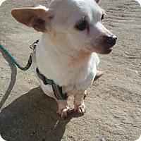 Adopt A Pet :: Honey - Oakton, VA