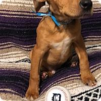 Adopt A Pet :: Mr. Pibb - Garden City, MI