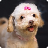 Adopt A Pet :: CoCo-APPLICATION RECEIVED - Millersville, MD