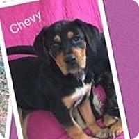 Adopt A Pet :: Chevy - Bernardston, MA
