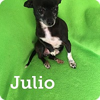 Adopt A Pet :: JULIO 4 YEAR CHIHUAHUA - Mesa, AZ