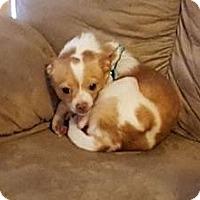 Adopt A Pet :: Hugo - O'Fallon, MO