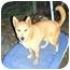 Photo 1 - Jindo/German Shepherd Dog Mix Dog for adoption in Pasadena, California - Ray